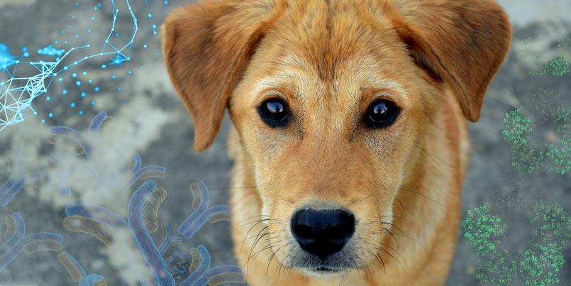 The use of Gentian's canine CRP immunoassay